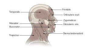 Illu_head_neck_muscle