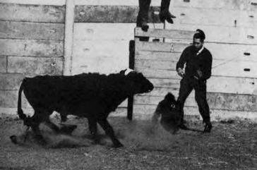 Управление быком с помощью имплантированного чипа